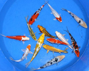 Wholesale koi fish wholesale koi fish for sale kloubec koi for Bulk koi fish for sale